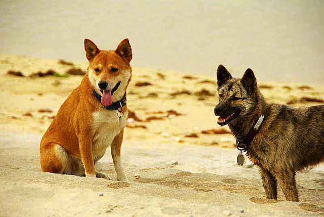 ryukyu,dogs,beach