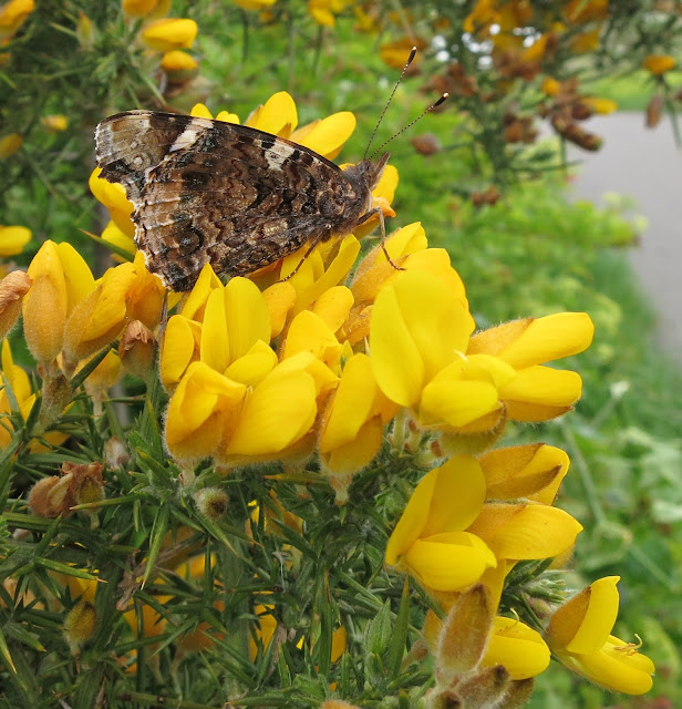 Red Admiral Butterfly (Vanessa atalanta) with its wings closed. On gorse flowers. May 13th 2013