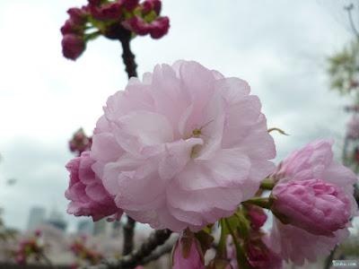 八重桜と花蜘蛛