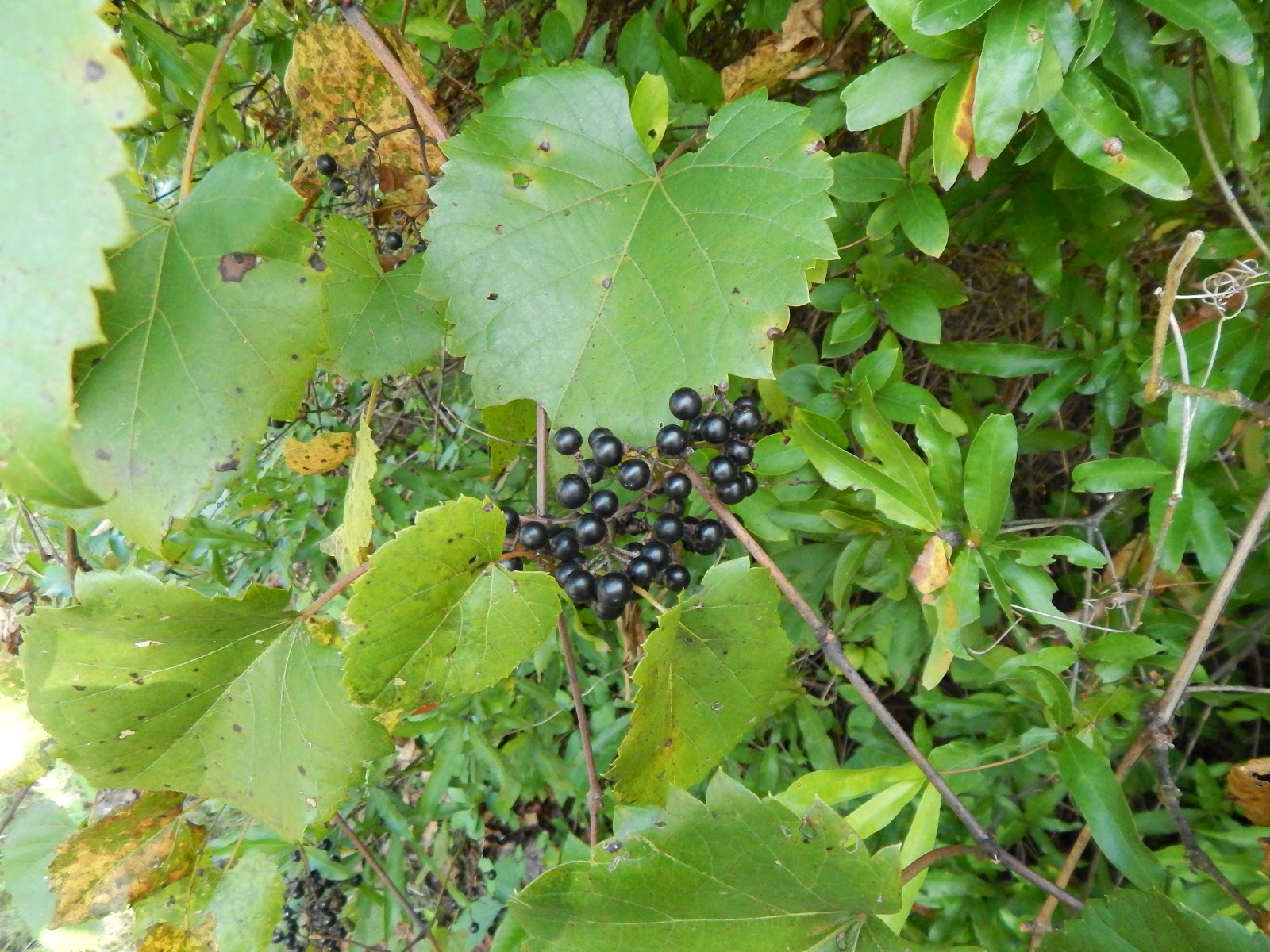How to close grapes for the winter: the main ways