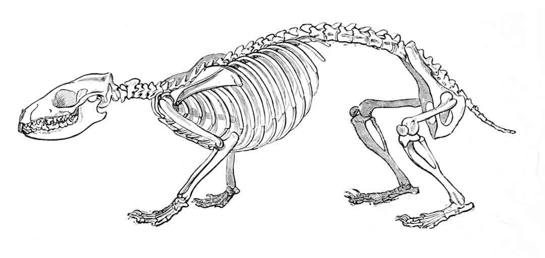 Dibujo del esqueleto del erizo de tierra