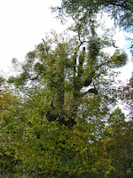 heavily parasitised trees mistletoe grove place hampshire