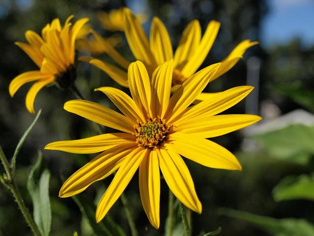 Helianthum tuberosum 'Bianka'