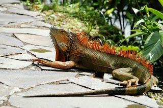 Jenis Iguana dan Harganya