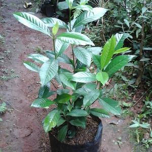 Jual Pohon Gardenia | Budidaya Tanaman Gardenia