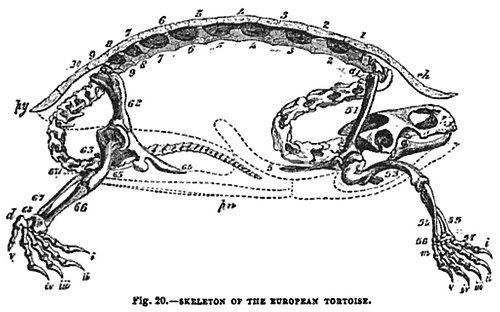 Skeleton of the European Tortoise