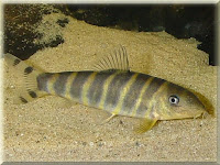 Queen Loach Fish Pictures