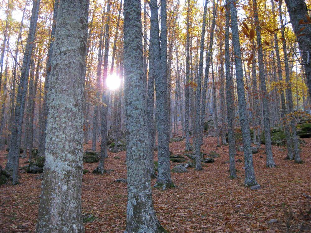 Bosque de jóvenes castaños