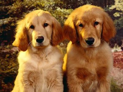 ¿Dos cachorros mismo tiempo?