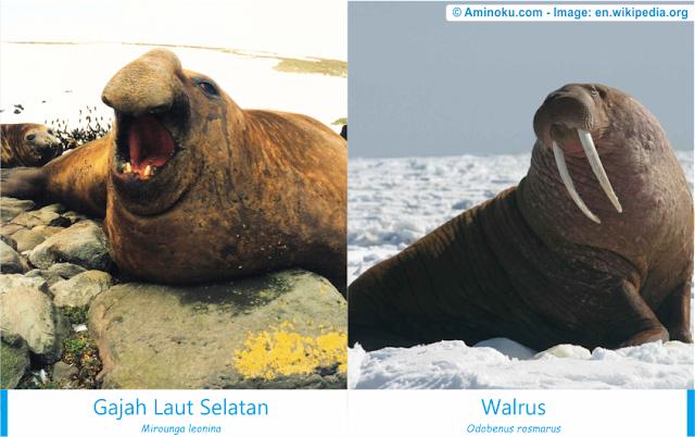 Perbedaan gajah laut selatan dan walrus