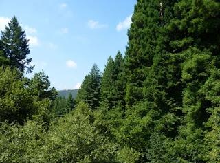 Monumento Natural de las Secuoyas del Monte Cabezón.