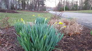 daffodils starting to blossom
