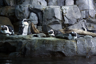 penguins monterey aquarium