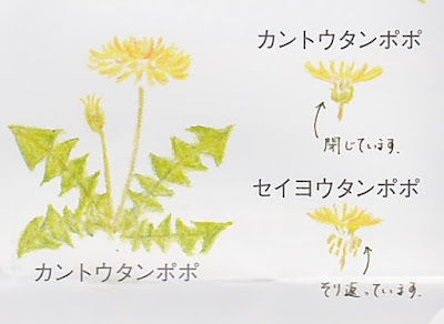 An illustration showing the two kinds of dandelion common in Japan: one with a tightly closed ring of leaves under the flowerhead, the other with the same leaves thrown back