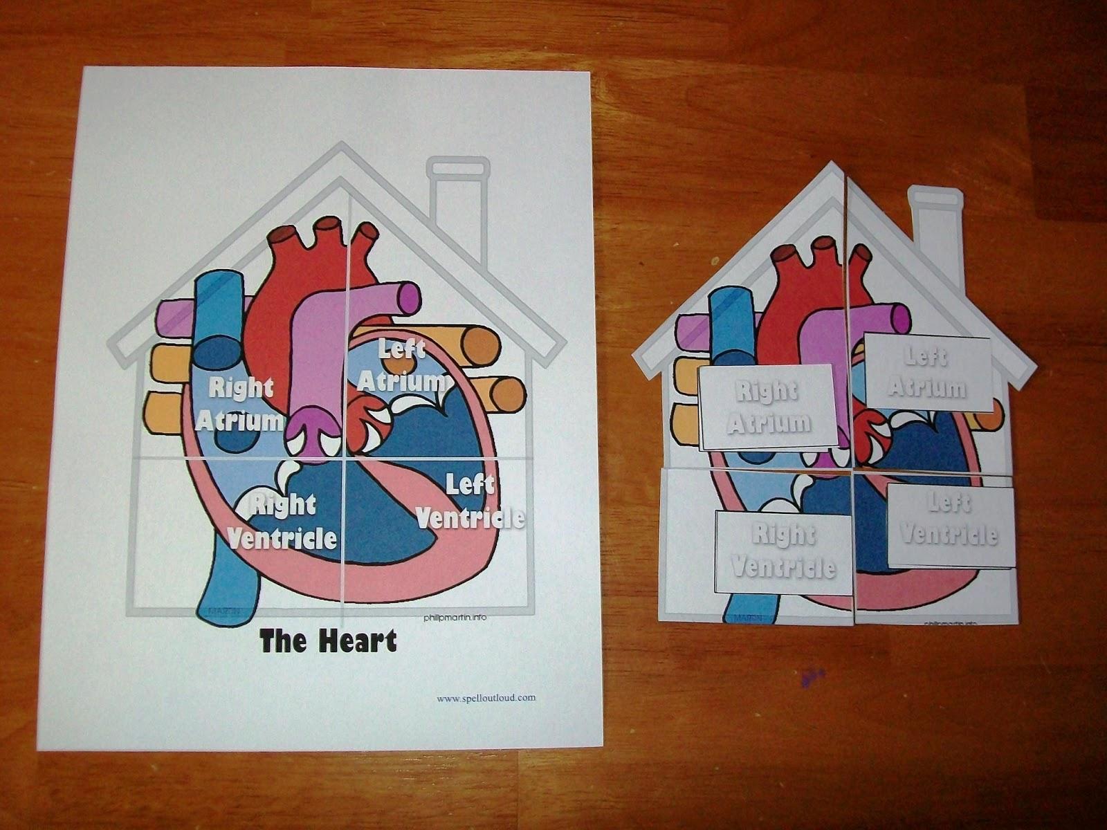 My Body The Circulatory System