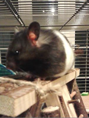 #AdoptDontShop Sophie Syrian Hamster