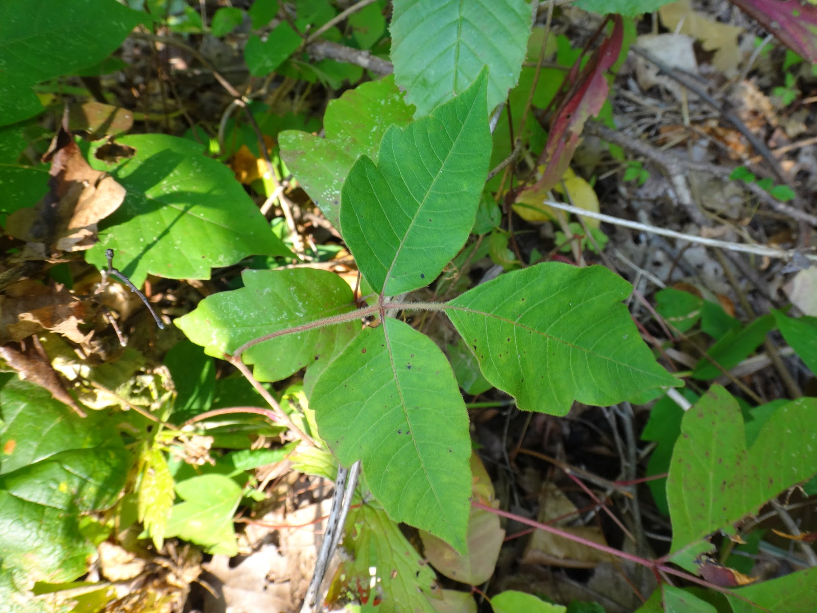 Poison Ivy Pflanze