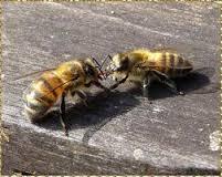 echange entre deux abeilles