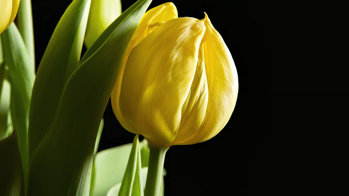 Wallpaper: Yellow Tulips