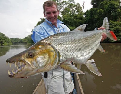 Habitat & Karakteristik Goliath Tigerfish Si Harimau Dari Sungai Afrika