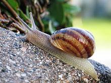 Pengertian Hewan Gastropoda, Struktur Tubuh,Ciri, dan Contohnya
