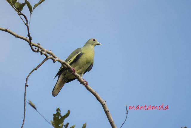 Pink-necked Green Pigeon(Treron vernans)