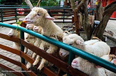 Ngenyot Ngedot Ngempeng Susu di Farmhouse Susu Lembang, Bandung mini zoo domba kelinci