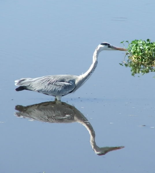 Picture of a heron.