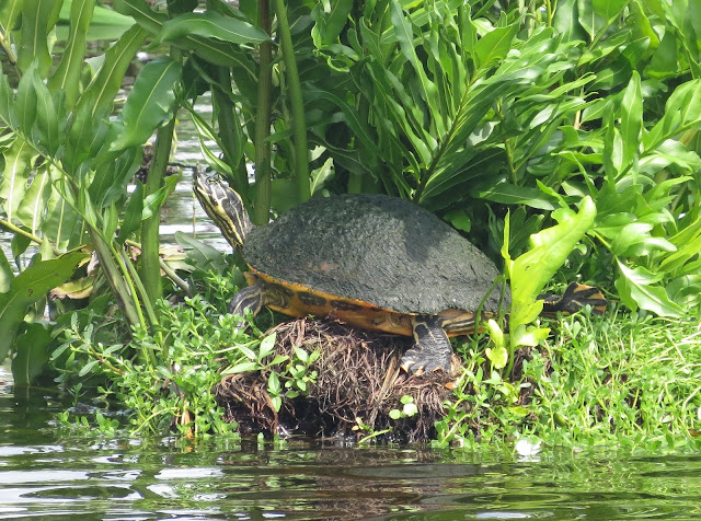 Cooter sp. - Wakodahatchee Wetlands, Florida