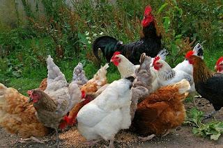 easiest farm animals to raise