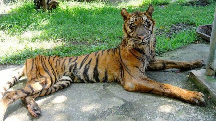 Tigre esquelético do Zoo de Surabaia