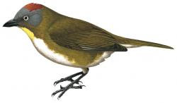 Rufous-naped Bellbird