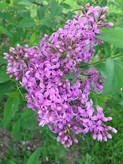 Lilac flower from my walk tonight
