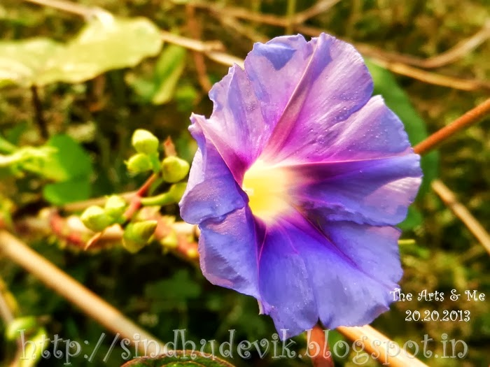 Blue Morning Glory flower of a weed creeper