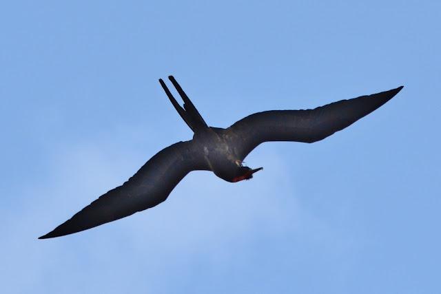 Bird spotting Punta Suarez Frigate