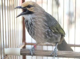 Burung Cucak Rowo Untuk Peserta Lomba atau Pemeran Ganangan- Kreteria Cucak Rowo yang Harus Terpenuhi Untuk Lomba - Penangkaran Burung Cucak Rowo