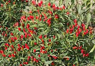 Cara menanam Cabe Rawit Kecil Agar berbuah lebat