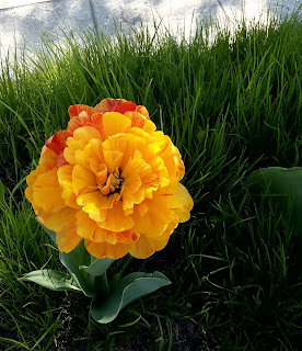 Лишь пригрело солнце ярко, но ещё совсем не жарко. Разноцветный сарафан одевает наш тюльпан