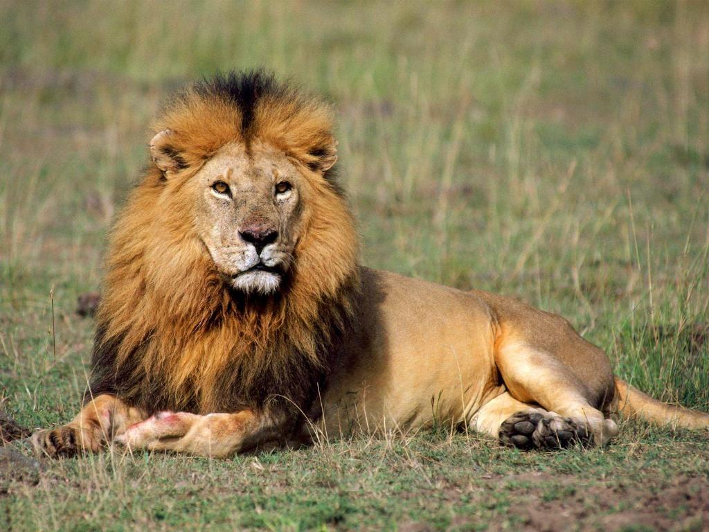 gambar singa  Indonesiadalamtulisan  Terbaru 2014