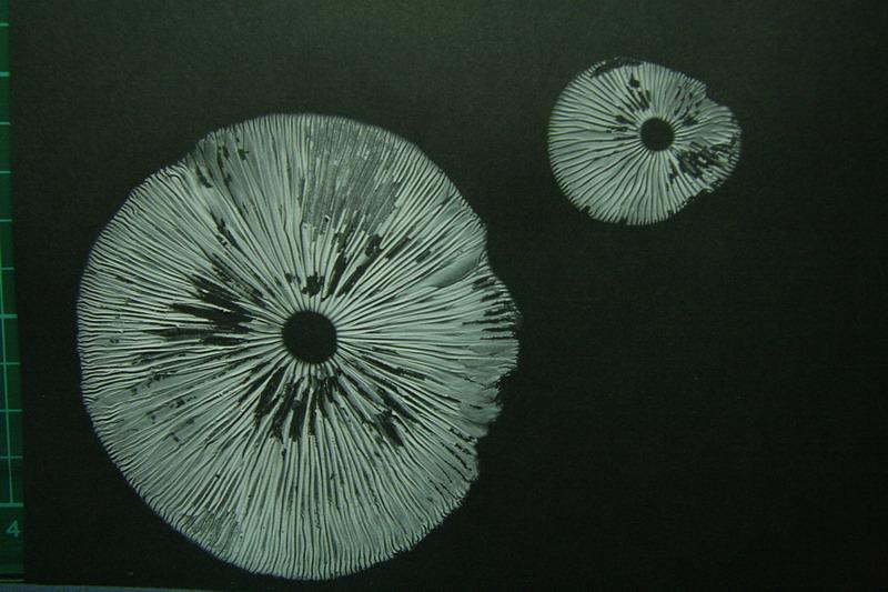 山林遊子 - 森ノート: 菌菇觀察 – 長根小奧德蘑