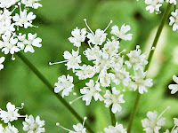 Melek otu çiçekleri