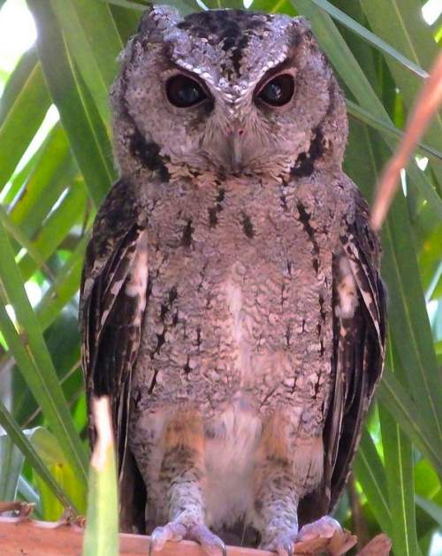 Indian birds - Collared scops owl - Otus lettia