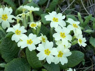 Primula vulgaris - Primevère commune - Primevère acaule