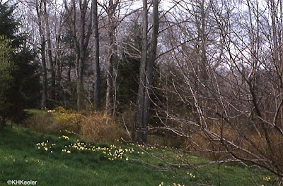 daffodils in Ohio