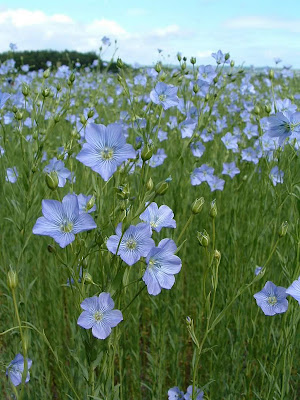flax blossoming, image via Tricia Rose, Rough Linen - as seen on linenandlavender.net -  http://www.linenandlavender.net/2012/01/scottish-rose.html