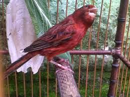 gambar kenari black red impor