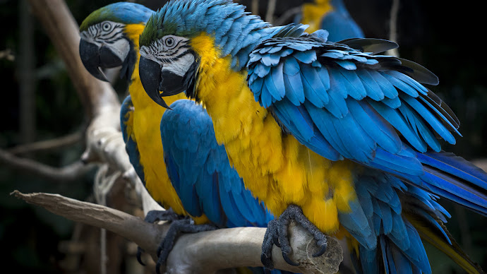 Wallpaper: Blue and Yellow Macaw
