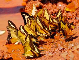 Butterflies Iguazu Falls Argentina