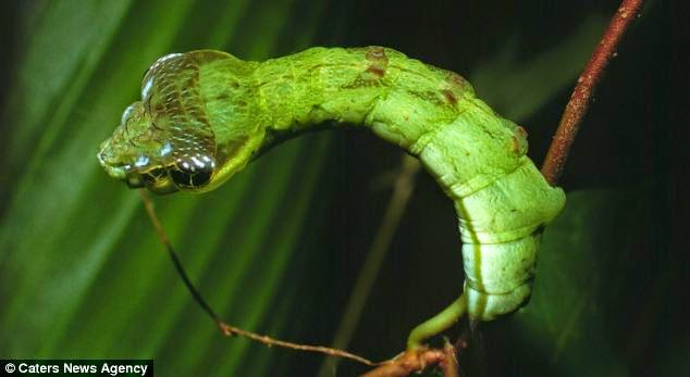Lagarta Cobra da Costa Rica disfarce Natureza