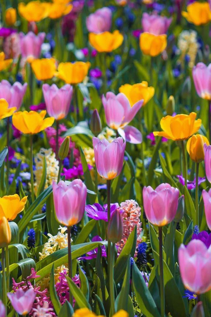 Ngất ngây trước vẻ đẹp choáng ngợp của cánh đồng hoa tulip nở rộ ở Hà Lan